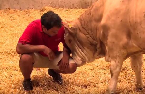 Así reacciona un toro cuando lo liberan después de pasar toda su vida encadenado