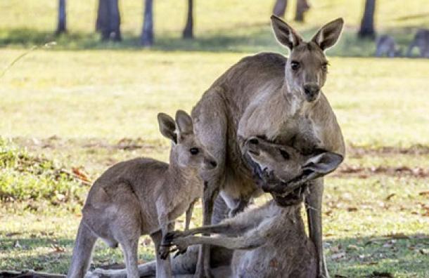 """La emocionante foto de estos canguros que pasó de ser """"tierna"""" a """"repugnante"""""""