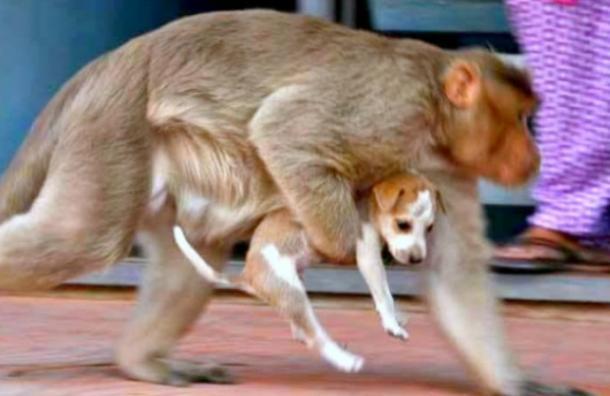 Este mono adoptó a un cachorro abandonado y conmovió al mundo entero