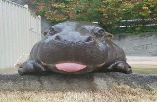 Una cría de hipopótamo son los nuevos residentes del Zoológico Nacional