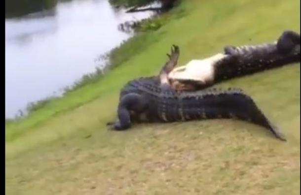 Un par de cocodrilos se hacen virales por pelear dentro de un campo de golf